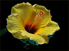 Yellow Hibiscus w/ Red Center - This is the State flower of Hawaii