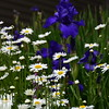 Irises and daisies