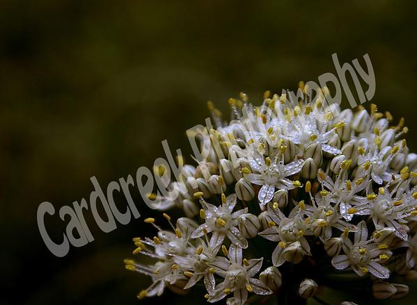 Dew on Onion Blossom