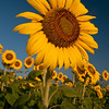 Sunflowers at Sunrise. Taken in a field in Georgia.