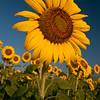 Sunflowers at Sunrise. Taken in a field in Georgia.