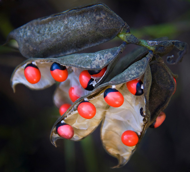 Poisonous Crab Eye seeds in their pod