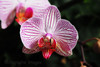 Pink, White Orchid