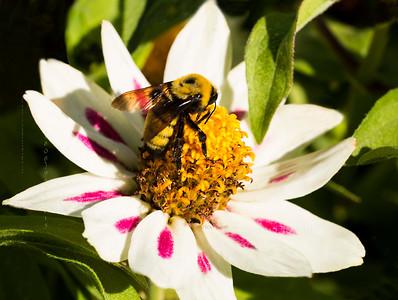 Bee on white flower cf1197