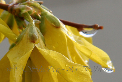 Forsythia after the rain.