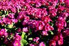 CRay-Flowers-9918