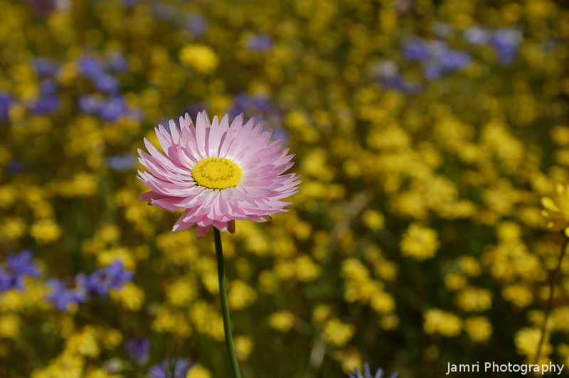 Pink in a Field of Yellow