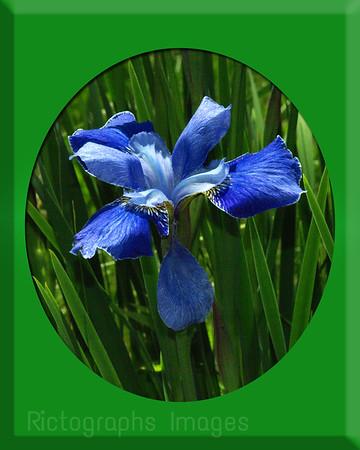 Iris, Fleur de lis