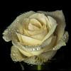 """<font color=""""#e9efb7"""">Creamy Rose"""