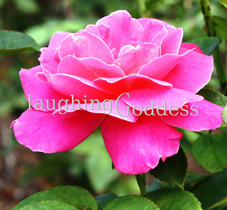 Title: hot pink rose