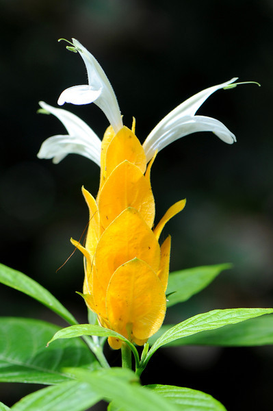 Pachystachys lutea - Golden Shrimp Plant.