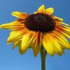 Sunflower<br /> Royal Botanic Gardens, Sydney, Australia.
