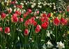 1574 - Tulips