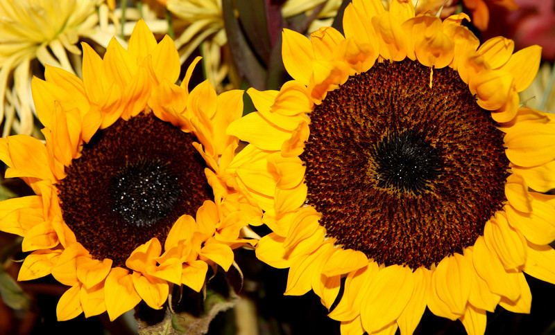 Twin sunflowers on a gloomy day to make you smile ;)