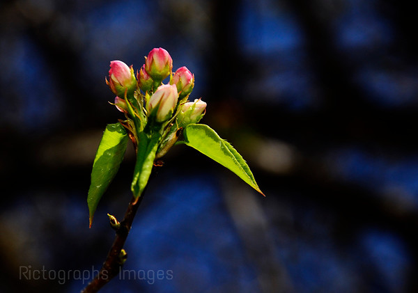 Spring Blossoms Blooming, Spring 2016