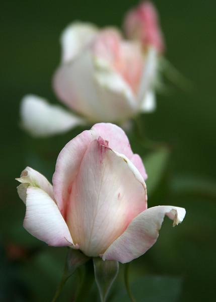 2396 - Roses