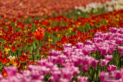 Tulip field. View of agricultural field growing tulips.