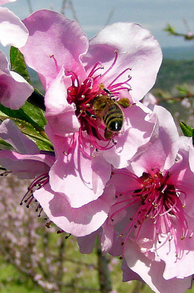 Orchard Busy Bee