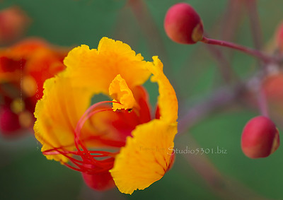 yellow flower & red buds 2594