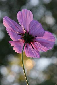 Cosmos flower.