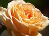 Rose in Niagra Hortocultural Garden