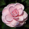 Camellia japonica 'Prince Frederick William'<br /> Royal Botanic Gardens Sydney