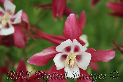 Red And White Columbine