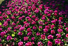 CRay-Flowers-0027-2