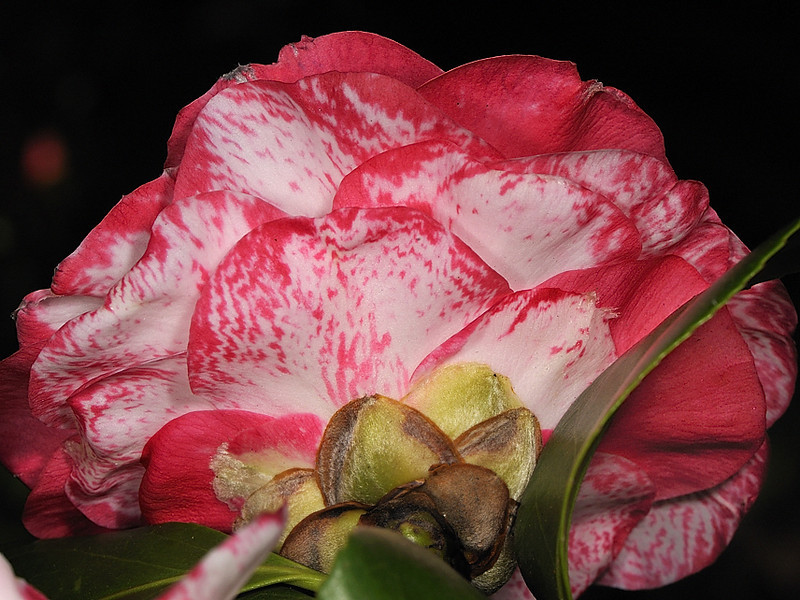 Camellia 'William Spragg'<br /> Royal Botanic Gardens.<br /> Sydney, Australia.