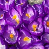 Purple crocus - 46