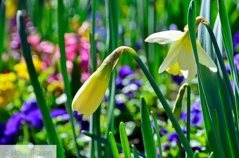 Daffodils and hyacinth - 177