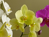 White, yellow and purple Moon Orchid against brown background