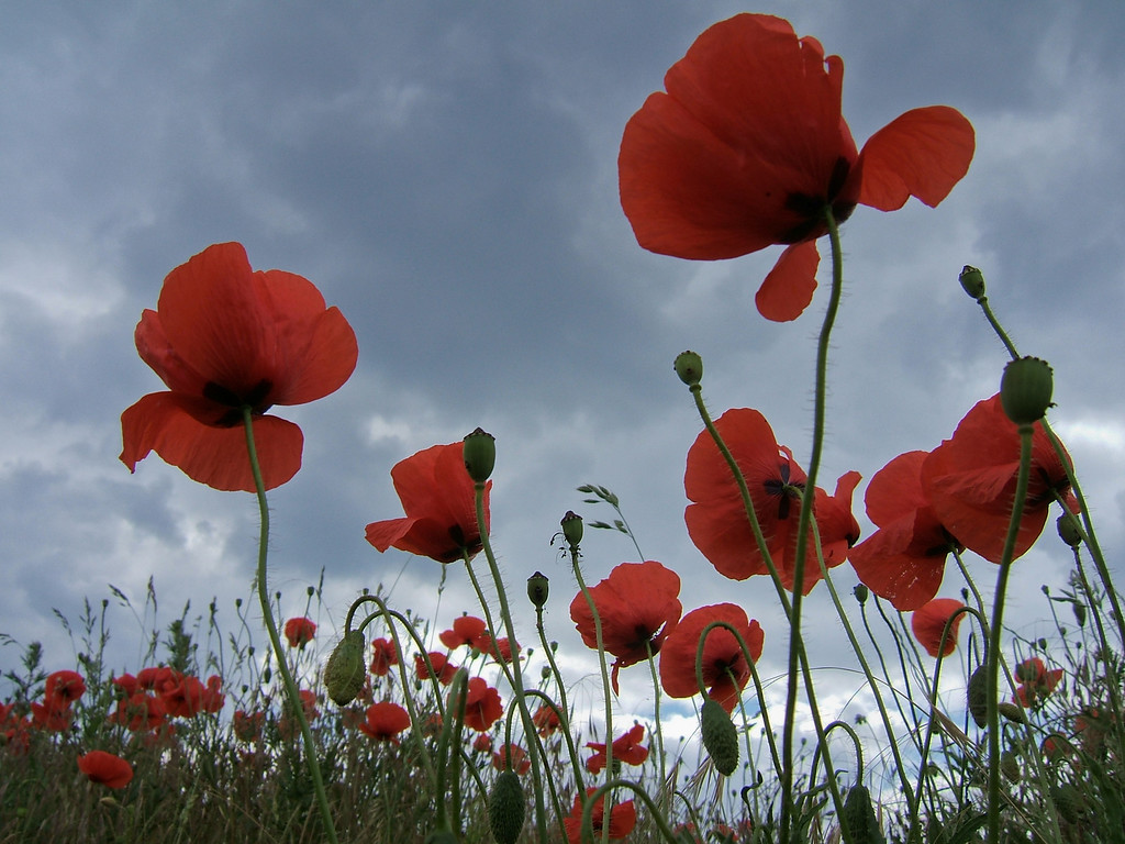 That's how corn poppies look like - if you were as tall as a frog