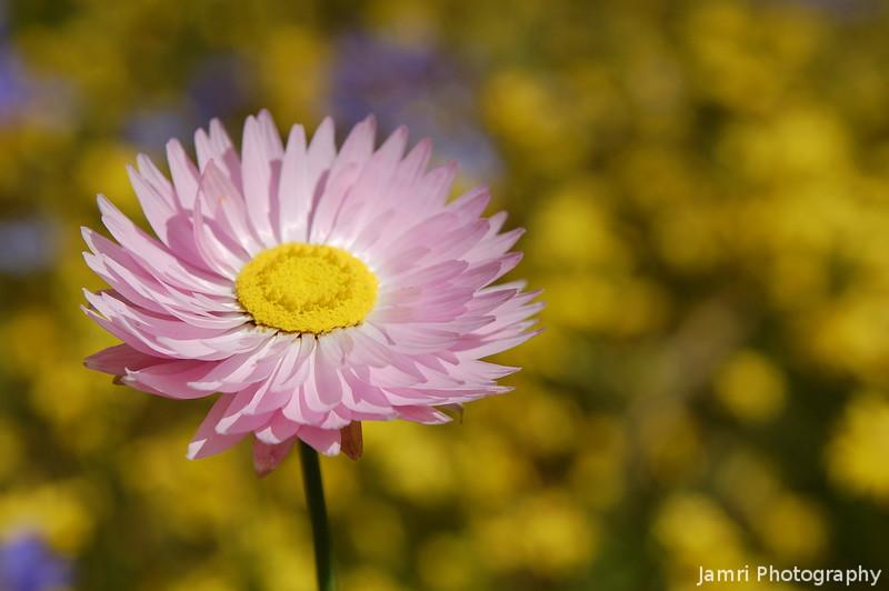 Pink Everlasting Upclose