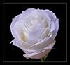 White Rose (109271400)