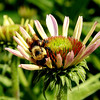 """Bee in Bloom""<br /> This bee in Bloomington is in a hurry to collect some pollen.."