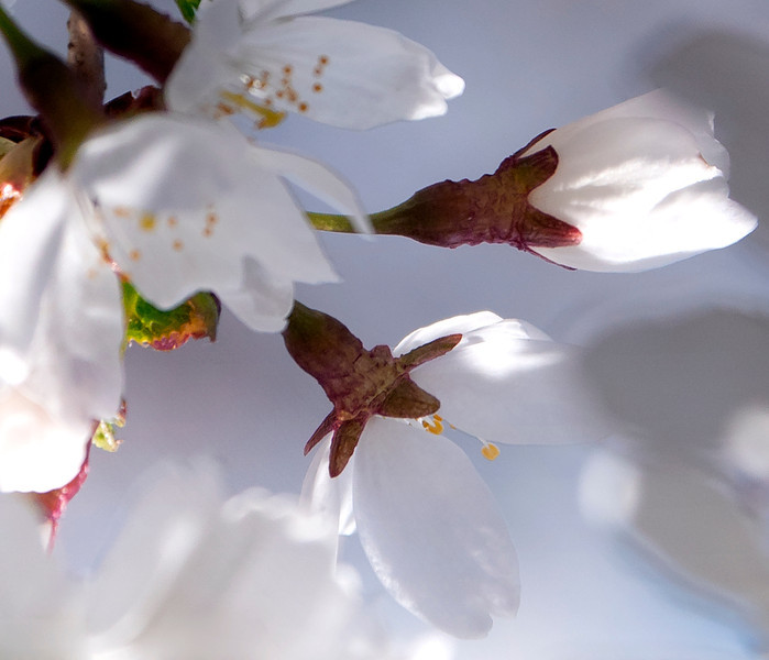 fragile white blossoms
