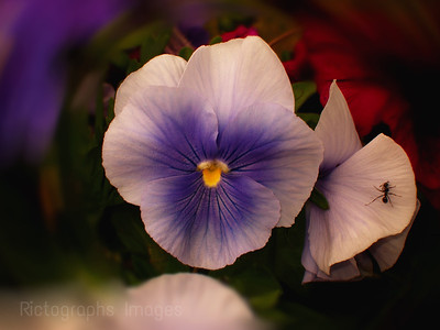 Beautiful Pansy Flower