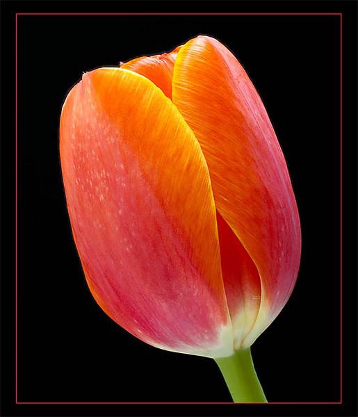 Tulip (110302944)