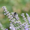 Busy bumblebee getting ready for fall in the lavender.
