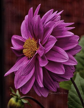 pink flower yel ctr cf dark DEx ProC 3405