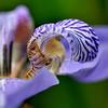 Iris flower<br /> Royal Botanic Gardens Sydney.