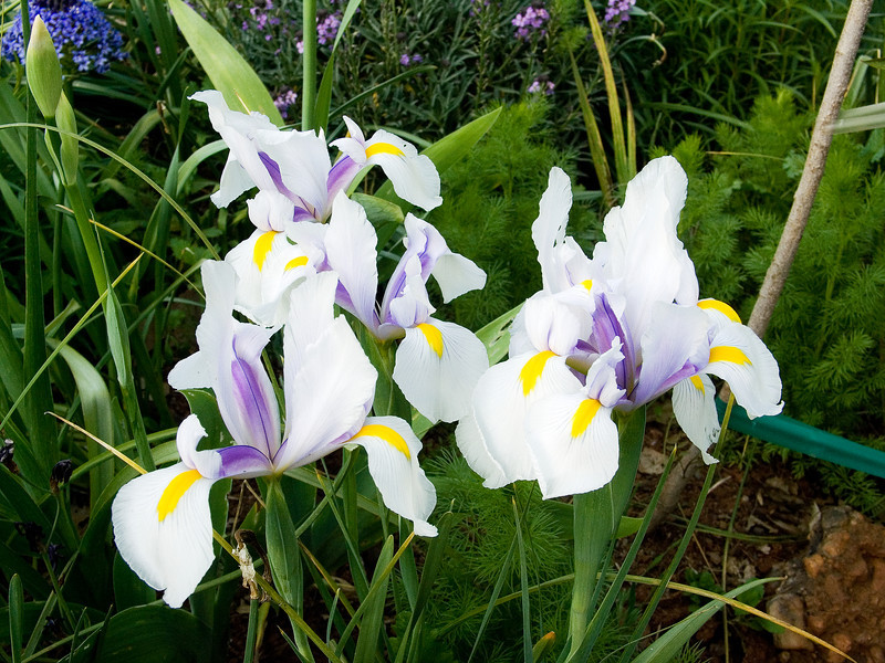 Carmen Dutch Iris Patch
