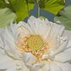 Nelumbo nucifera cv. Hindu Lotus<br /> Sacred Lotus<br /> Sydney Royal Botanic Gardens, Australia.<br /> 4th January 2004