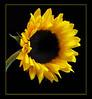 SunflowerltbrgtIMG_4689w (36852540)