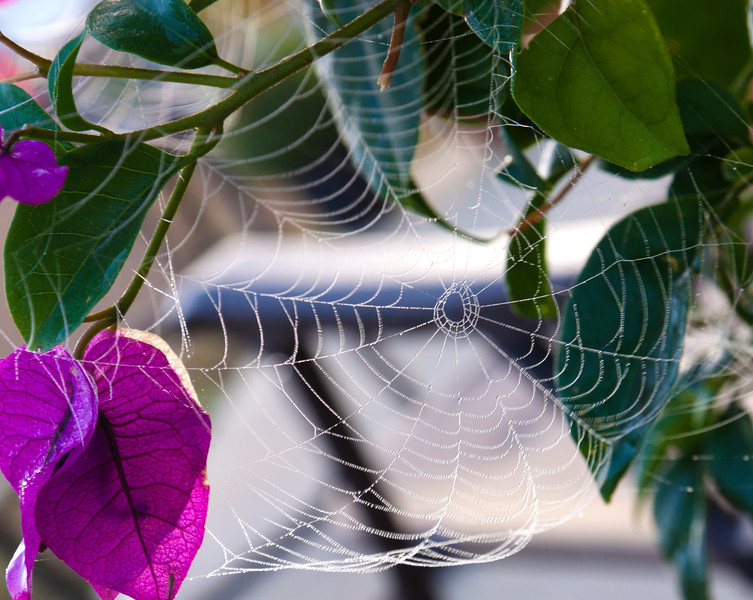 Spider web on Bougainvillea Florida