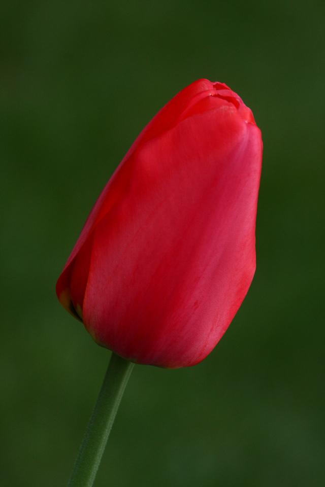 IMG4_37518 Red Tulip Flower DPP