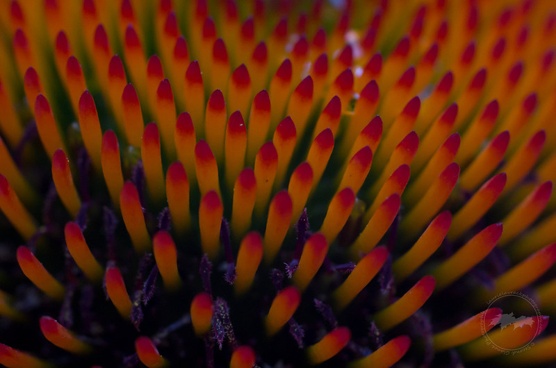 Detail of center of a purple coneflower aka echinacea