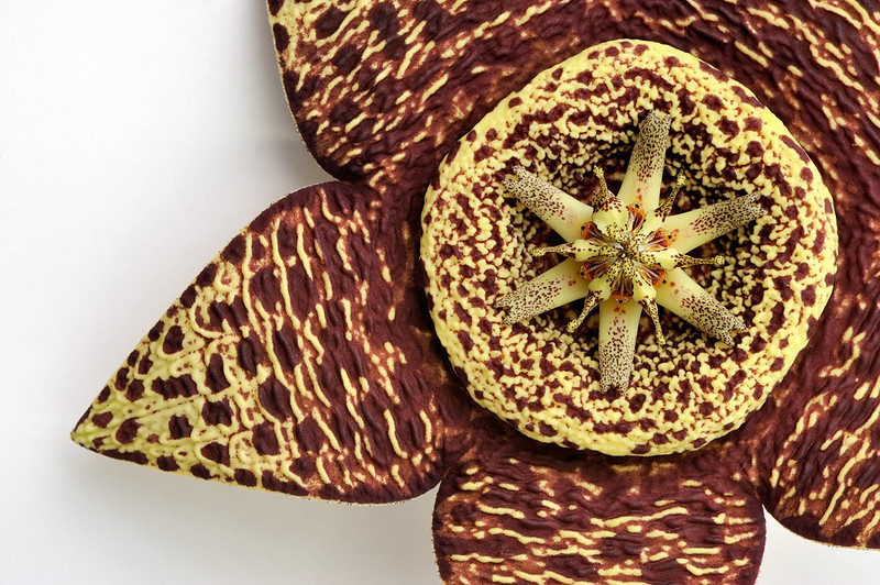 Stapelia variegata<br /> Succulent plant, from Cape Province of South Africa