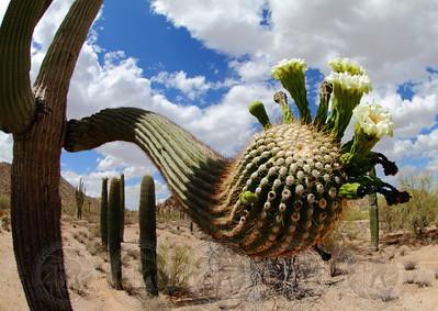 Blooming Saguaro, Az